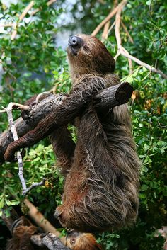 Sloth ...IMG_7429 by catopuma on Flickr.