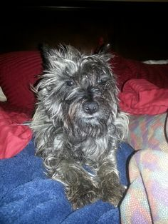 Mom don't take a picture before I fix my hair. Cairn Terrier
