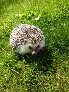 My hedgie, Sophie