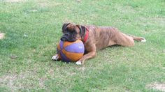 Really would someone just play ball with me.. #Boxer #dog