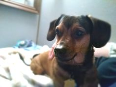 Weenie Dogs, Dachshunds, Sausage Dogs, Animals, Dachshund, Dachshund, Beer Brats, Weiner Dogs, Weiner Dogs