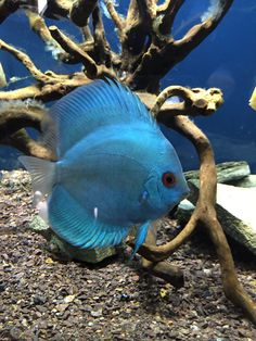 Discus - Blue Diamond #Discus #AmazonFish #AquariumFish Fish Aquariums, Aquarium Fish, Discus Fish, Guppy, Beautiful Fish, Cichlids, Colorful Fish, Freshwater Aquarium, Fish Art