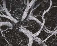 Manzanita Twigs, Ansel Adams