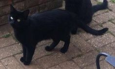 My Hiro has gone missing. He is pure black neutered, has a slight kink in his tail, but you wouldn't be able to tell unless you can handle him, he is very shy, but he will respond to his name. Missing from Old Catton (Norfolk). I have been door to door within my surrounding areas.Read More