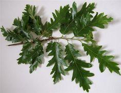 Quercus cerris (Turkey Oak)