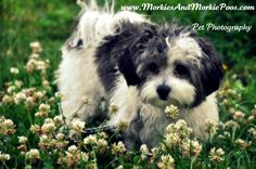 Maltipoo Temperament and Information - Morkies & Morkie Poo Pups G.T.A
