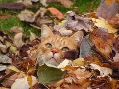 cat fall autumn automne feuilles leaves