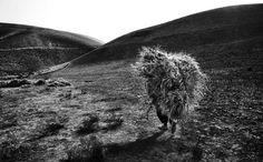 Northen Afghanistan,Kunduz province, man carries hay