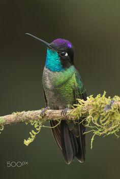 Magnificent+Hummingbird+-+Male+Magnificent+Hummingbird+on+a+perch,+Costa+Rica.