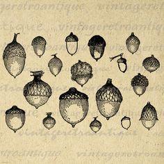 vintage acorn illustration - Google Search
