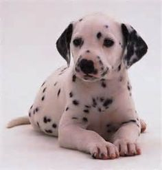 dalmatian puppies - Bing Images