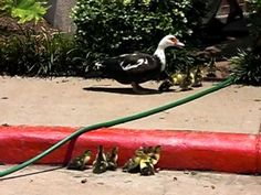Guy Helps Ducklings Get On The Sidewalk World Wild Life, Cute Ducklings, Inclusion Classroom, 21st Century Learning, Differentiated Instruction, Baby Ducks, Classroom Behavior, Classroom Community, Differentiation