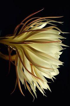 Night blooming cereus flower