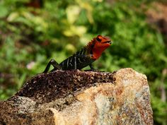 Calote Lizard Reptiles, Animals, Animales, Animaux, Animal, Animais