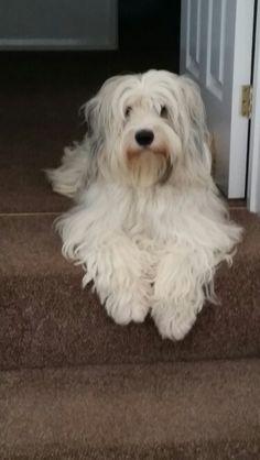 Our beautiful tibetan terrier