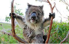 Sweet baby koala bear