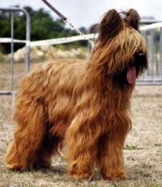 briard dog photo   Pedigree KC Registered Briard Puppies in NEWPORT PAGNELL, BUCKS born ...