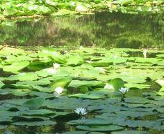 Lacul cu nuferi de la Dognecea - spectacolul naturii
