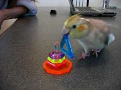 clicker-training birds (playlist)Clicker Training: Kiwi cockatiel, lordess of the rings !