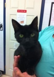 Felicity is an adoptable Domestic Short Hair-Black Cat in Frankfort, KY. Foster or adopt today - Transportation may be available - just ask. Franklin County Humane Society 1041 Kentucky Ave Frankfort,...