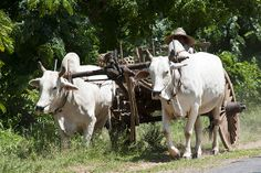 Burma (Myanmar) |- Bullock cart @Ben Silbermann Smethers Ben Silbermann, Bullock Cart, Burma Myanmar, Bagan, Life Photo, Beach Photography, Ox, Cattle, Photo Art