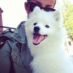 American Eskimo--what a happy face!