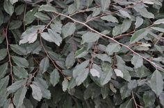 Elaeagnus pungens 'Silver Berry'
