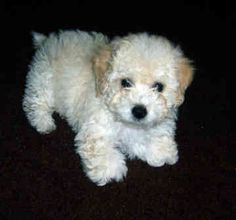 fluffy toy poodle which looks like a stuff bear/dog to me.