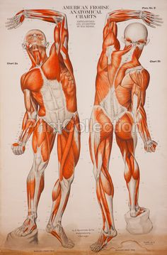 One of 8 from the set of American Frohse Anatomical Wallcharts. Showing full length musculature of the human body. During World War I these German charts were edited by Max Brodel at John Hopkins and