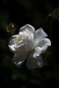 tinnacriss: Bridal White, by Hideaki Yoshida Wonderful Flowers, Beautiful Roses, My Flower, Flower Art, White Roses, White Flowers, Hd Flower Wallpaper, Fleur Orange, Flower Places