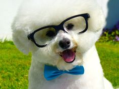 11 Fluffy Facts About the Bichon Frise | Mental Floss UK                                                                                                                                                                                 More