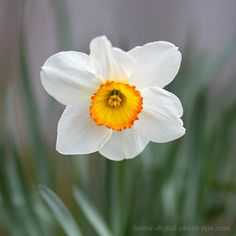 """""""Lonely Daffodil"""" I needed a fast shutter speed to prevent motion blur from the wind. Shutter Speed Photography, Photography Cheat Sheets, Action Photography, Photography Lessons, Photography Business, Photoshop Elements, Photoshop Actions, Night Time Photography, Digital Camera Lens"""