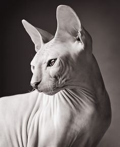 sphynx cat These special cats will bring you joy. Cats are amazing creatures. Beautiful Cats, Animals Beautiful, Pretty Cats, Spinx Cat, Animals And Pets, Cute Animals, Photo Chat, Tier Fotos, Cat Breeds