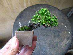 盆栽:小町バラのミニ盆栽の画像   春嘉の盆栽工房