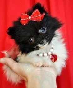 Teacup Pomeranian! I want her.