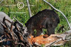 Limited Edition Nature Art Print. Diggin' It 2 --In Pursuit. Wildlife photograph:  Bears, Yellowstone, Wyoming, Bear, Black Bear