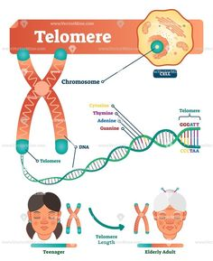 Educational And Medical Scheme With Cell, Chromosome And DNA. Stock Vector - Illustration of cell, double: 122386089 Cell Biology, Molecular Biology, Science Biology, Biology Lessons, Teaching Biology, Medical Anatomy, Human Anatomy And Physiology, Medical Laboratory, Biochemistry
