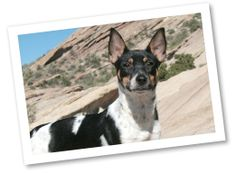 Rat Terriers are spunky, playful pets that are intelligent but may be stubborn. They appreciate daily exercise such as a play session or a challenging toy to keep them busy.