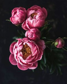 A Love Letter to My Body. - Growing Peonies - How to Plant & Care for Peony Flowers How To Wrap Flowers, Pink Flowers, Beautiful Flowers, Purple Roses, Peony Drawing, Peony Painting, Peonies Wallpaper, Flower Wallpaper, Wallpaper Backgrounds