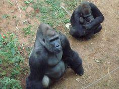 Filhote de gorila na FZB-BH - Foto Suziane Fonseca 05.08.2014  (2)