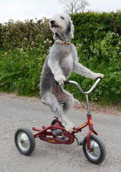 Meet Barry the Bedlington terrier: Cumbria's most proficient tricyclist.