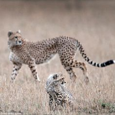Cheetah mothers spend a long time teaching their young how to hunt. Small, live antelopes are brought back to the cubs so they can learn to chase and catch them.