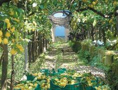 Lemons in Sorrento ready for Limoncello. ❤️