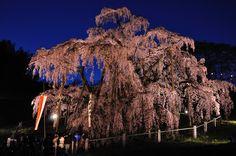 滝桜 日本五大桜のひとつである三春の滝桜。とても迫力がある。
