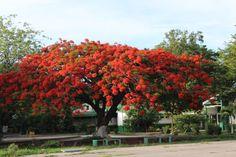 Árbol de malinche. En la provincia de Guanacaste, Costa Rica. En el mes de junio nos regala esas flores preciosas.
