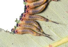 Sawfly larvae feeding Grubs, Bees, Creepy, Insects