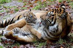 Curiosidades sobre tigres