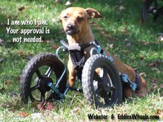 Webster in his Eddie's Wheels front wheel dog wheelchair.