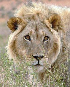 ~~King of the Kalahari by Carisma~~