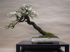 Blackthorn Bonsai ~ (Prunus Spinosa) #uniquebeautifulflowers